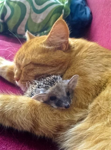 hedgehog cat hedgehogs mother awesome why pet 00c animals endless entertainment voices russia