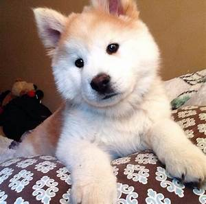 Chowsky (Chow/ Husky) pup! | Dogs | Pinterest