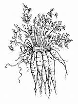 Carrot Coloring Pages Vegetables Garden Carrots Printable Colouring Print Para Colorear Sheets Recommended Fun sketch template