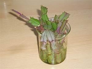 Hortensien Vermehren Wasserglas : weihnachtskaktus stecklinge im wasser bewurzeln majas ~ Lizthompson.info Haus und Dekorationen