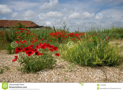 poppy bloom time wild poppy stock photo image of bloom beauty house 41208330