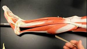 Muscular System Anatomy  Lateral Leg Region Muscles Model