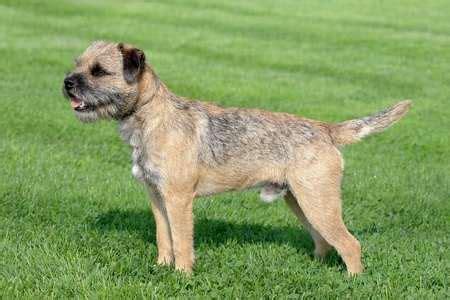 border terrier non shedding border terrier small breeds
