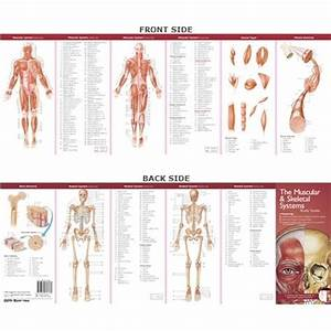 Anatomical Poster Chart