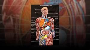 Essentials Of Human Anatomy  U0026 Physiology