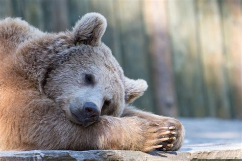 bears hibernate  long  bears hibernate