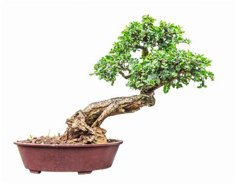 bonsai äste schneiden liguster bonsai schneiden 187 so machen sie s richtig