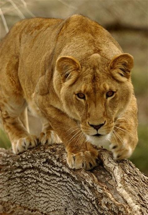 32 Best Lioness Tattoos Images On Pinterest  Female Lion