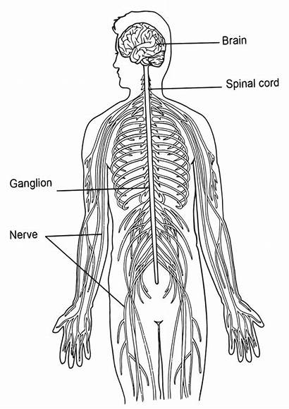 Organs Human Coloring Pages