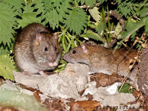 was tun gegen wanderratten rattenplage was tun botanischer garten in oldenburg kf gegen rattenplage rattenplage was