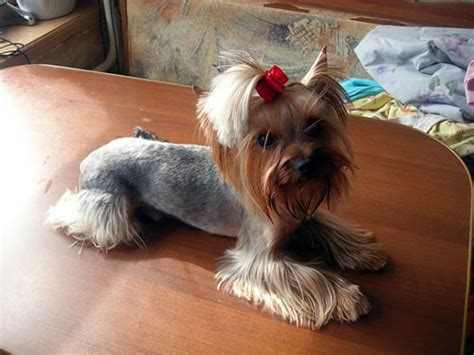 Coolest Yorkshire Terrier Haircuts