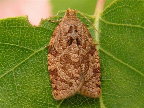 http://www.agraria.org/entomologia-agraria/capua.htm