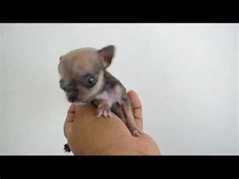 worlds smallest dog  micro tiny teacup
