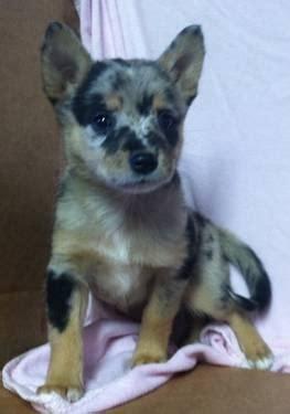 darling ausky puppy dog husky mini aussie blend takoba