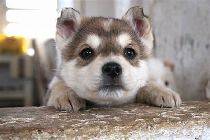 Husky Puppies Puppy Siberian Dogs Wallpapers Dog