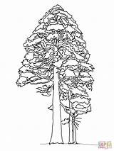 Sequoia Coloring Redwood Giant Tree Pine Drawing California Printable State Trees Cedar Tutorial Cone Adult Colouring Drawings Sketch Line sketch template