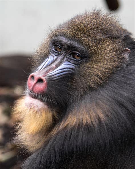 black chimpanzee smiling  stock photo
