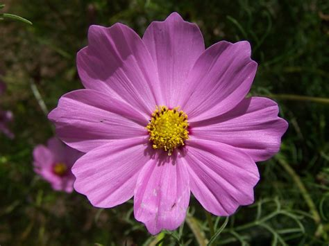 picture of cosmos flower gardening and flowers pink cosmos flower