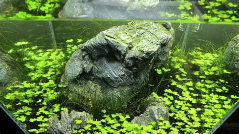 Aquascape Shrimp Tank by 30cm Cube Aquascape For Shrimp