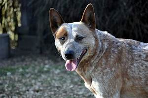 Australian Cattle Dog Dog Breed Information - All Our Paws