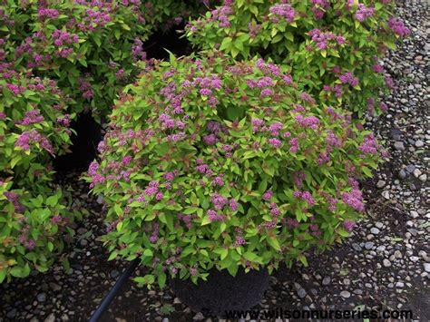 spirea shrub pictures spirea magic carpet shrubs evergreens pinterest