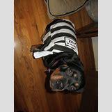 Brown Doberman Dog | 640 x 480 jpeg 94kB