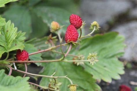 erdbeeren remontierende sorten erdbeeren