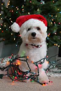 dog wrapped in christmas lights with santa hat ʀεƥɪииε 240 169 ʀσxʌиʌ ƭʌиʌ