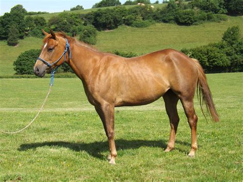 quarter horses mare doc foal genuine seren freckles gallo del bred american breeders rooster cielo chex south she