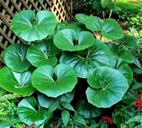ligularia tussilaginea perennial plants