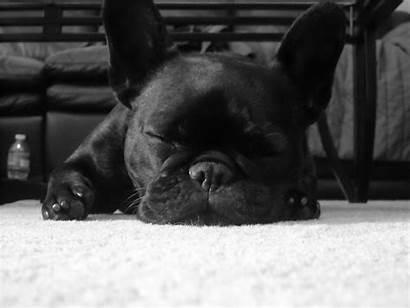 Bulldog French Wallpapers Dog Dogs Desktop Sleeping