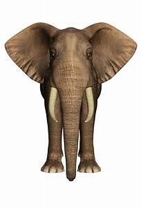 Elephant Front View - Best Elephant 2017