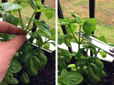 how to harvest herbs harvesting basil container gardening
