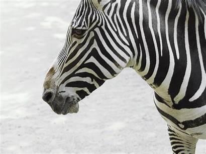 Zebra Wallpapers Animals Animal Wildlife Hq Majestic