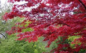 Erable Du Japon Entretien : erable du japon acer palmatum plantation taille ~ Nature-et-papiers.com Idées de Décoration