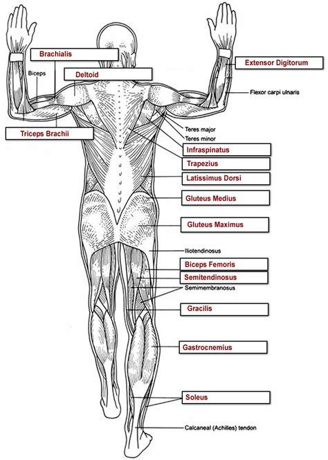 Major Muscles Of The Human Body Worksheet  Human Anatomy Chart