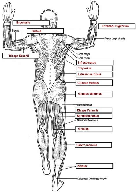 The ischium is divisible into three portions; Muscles Labeling Full Body