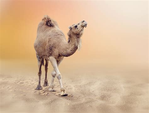 camels, Animals, Wallpapers Wallpapers HD / Desktop and Mobile Backgrounds