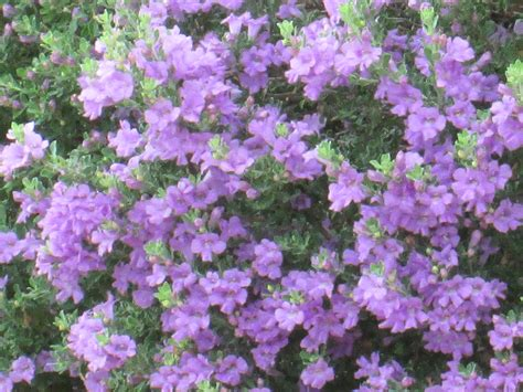 Our Desert Is Cascading With Purple Flowering Bushes Tjs