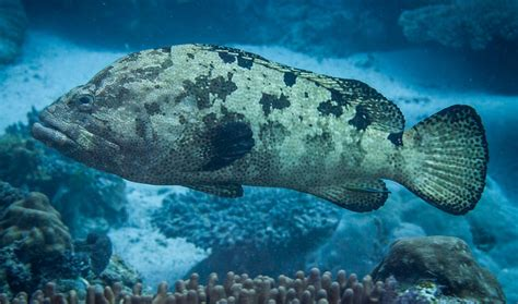 grouper marbled brown conservation data migration locally managed tell marine follow science cool priest mark landscapes