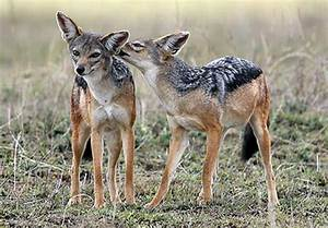 black-backed jackal | Canis lupus hominis