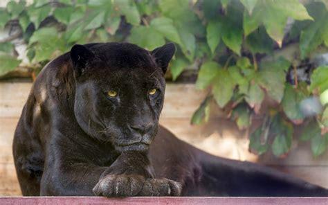Black Panther Animal Wallpaper - animals black panther wallpapers hd desktop and mobile
