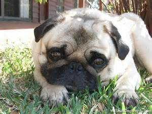Small Dog Breeds Pugs