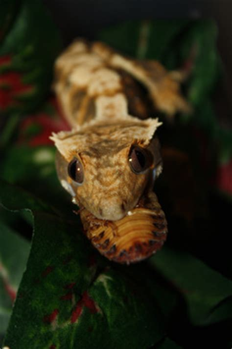 Crested Gecko Shedding Humidity by Crested Gecko Brookshire Exotics