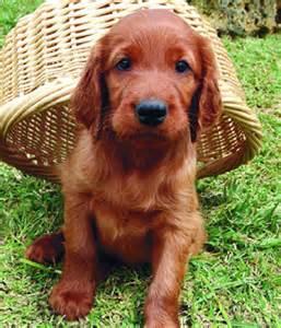 airių seteris nuotraukos savybės visos šunų veislės
