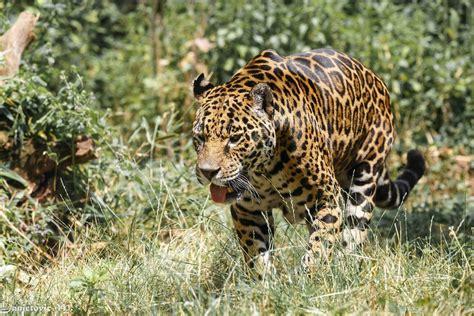 jaguar, Wild, Cat, Carnivore, Language, Walking, Zoo ...