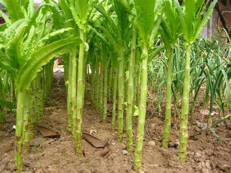 jual benih bibit biji jual beli green asparagus hijau tanaman sayur herbal