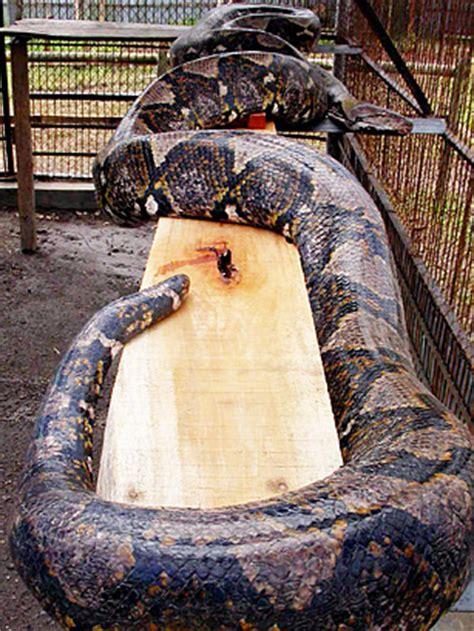 burmese python top  real life monsters time