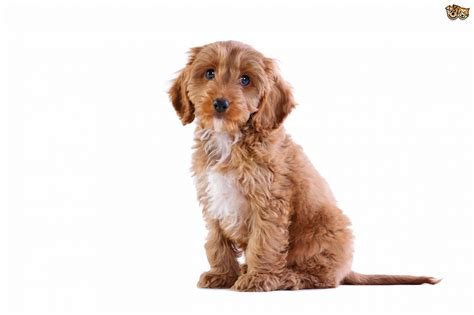 Do Cockapoos Shed As Puppies by Cockapoo Breed Information Buying Advice Photos And