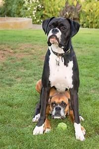 9 Dog Breeds Mistaken for Pit Bulls ... → 🍹 Lifestyle